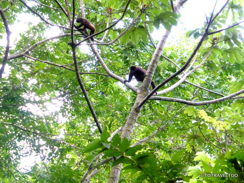 Howler Monkeys on the slopes of Volcano Maderas Ometepe Island