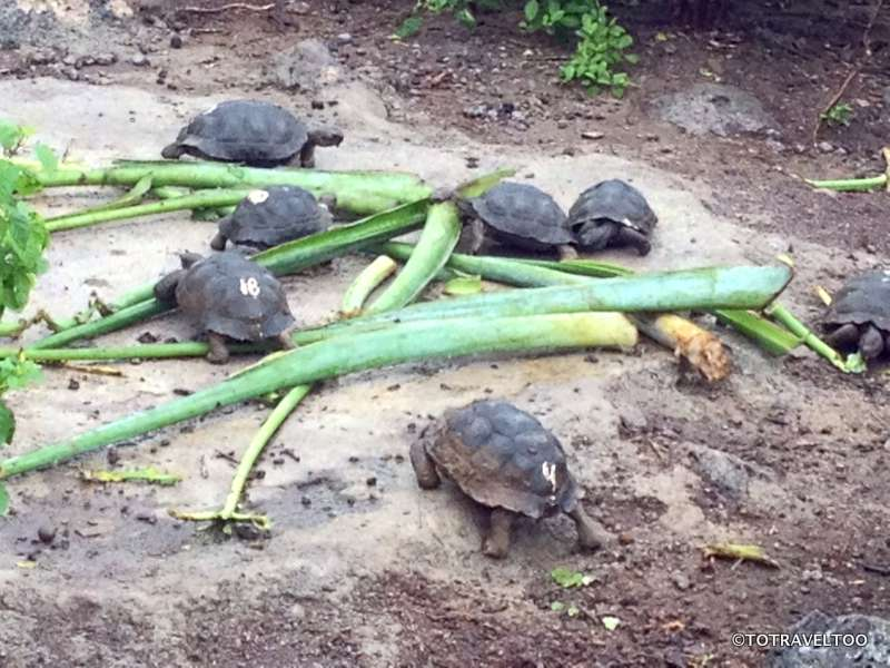 Feeding time at the centre at San Cristobal on the Galapagos Islands