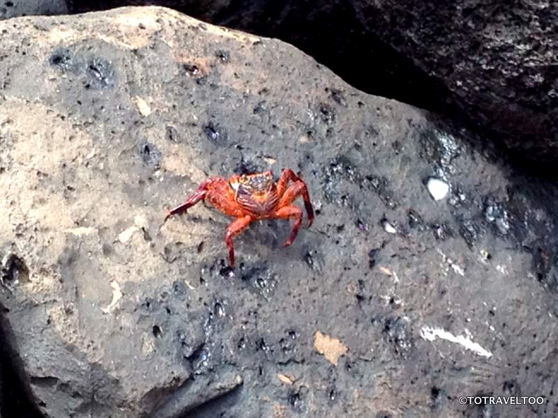 Armies of red crabs everywhere on the rocks in the Galapagos Islands