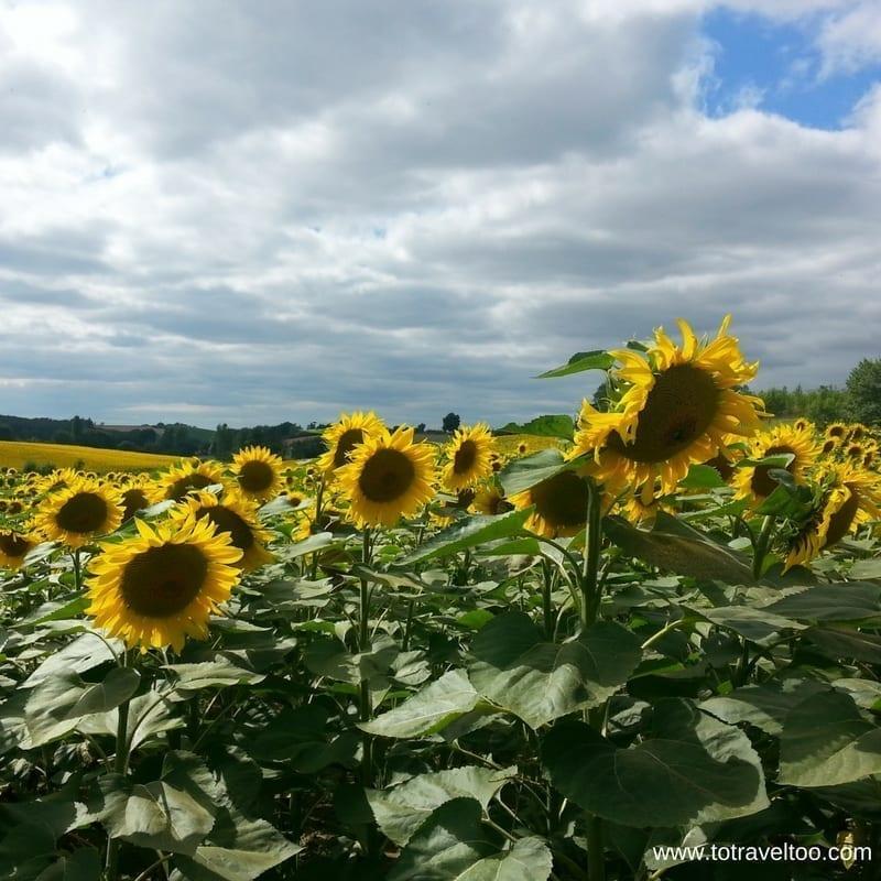 Midi Pyrenees Sun Flowers